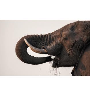 elefante90x56